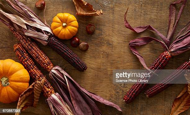 flint corn and pumpkins - indian corn stock photos and pictures