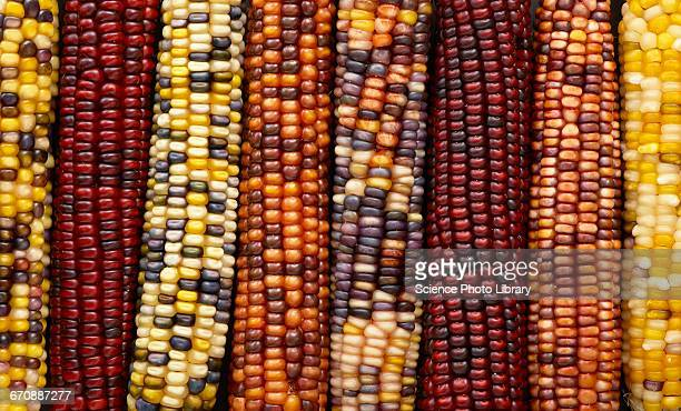 flint corn - indian corn stock photos and pictures
