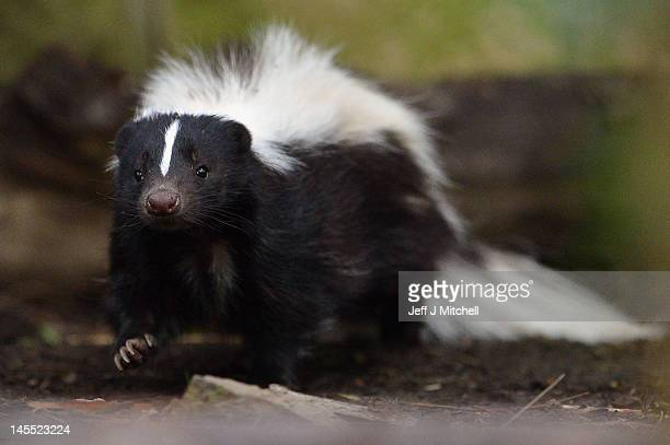 Flo the skunk arrives at Edinburgh Zoo from Amneville Zoo in France on June 1, 2012 in Edinburgh, Scotland. Flo has joined a six year old male skunk...