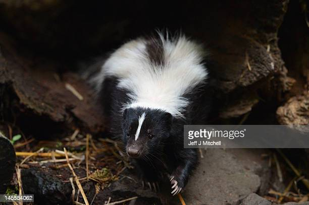 Flo the skunk arrives at Edinburgh Zoo from Amneville Zoo in France on June 1 2012 in Edinburgh Scotland Flo has joined a sixyearold male skunk...