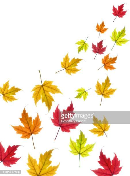 floating autumn maple leaves on white. - month stock pictures, royalty-free photos & images