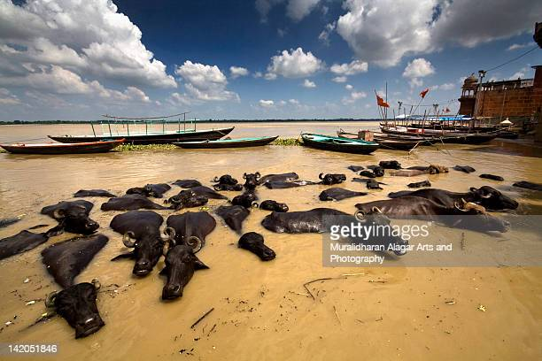 Floating buffaloes in river