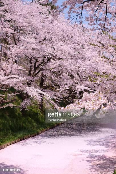 Floating cherry blossom petals cover a moat of Hirosaki castle during Hirosaki Cherry Blossom Festival at Hirosaki Park in Hirosaki Aomori Prefecture...