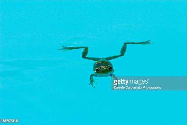 floating green frog - daniele carotenuto stock-fotos und bilder