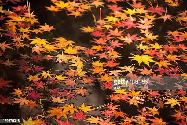 Floating maple leaves on pond