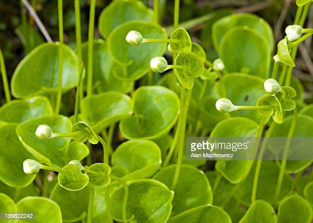floating marsh marigold, caltha natans - chugach state park stock pictures, royalty-free photos & images
