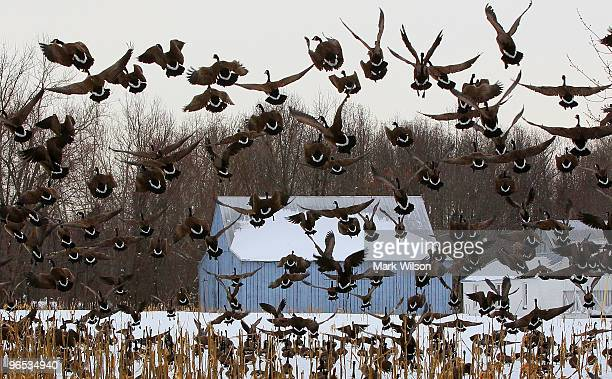 A flock Canada Geese land on a snow covered corn field on February 9 2010 in Prince Frederick Maryland The Prince Frederick area is recovering from a...