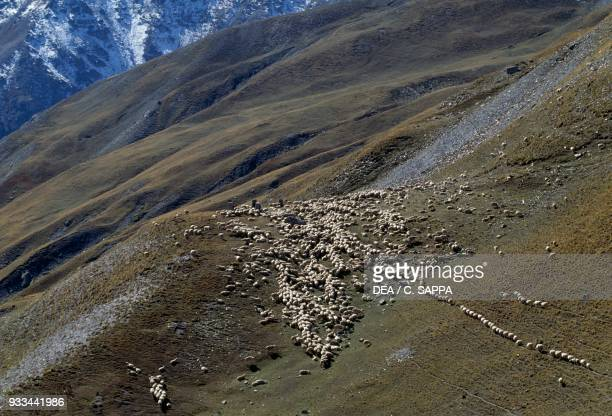 Flock grazing on Col de la Bonette BonnevalsurArc AuvergneRhoneAlpes France