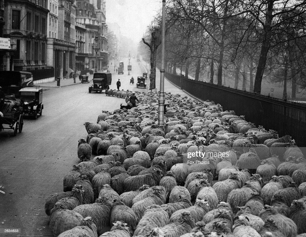 Sheep Traffic : News Photo