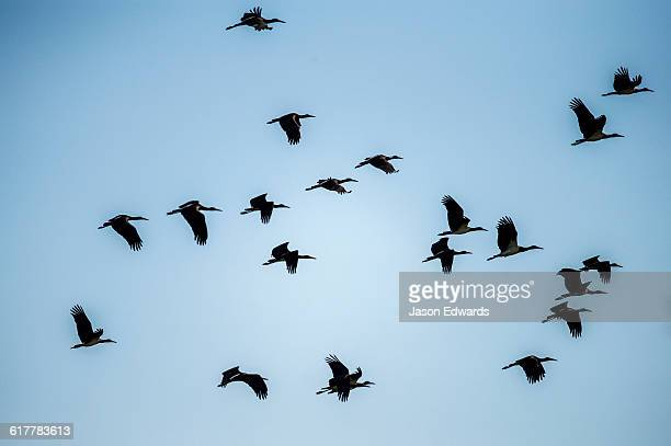 A flock of Abdims Stork flying in formation.