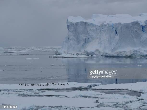 a flock of adélie penguins (pygoscelis adeliae) on pack ice in front of a tabular iceberg, southern ocean, antarctica. - pack ice stock pictures, royalty-free photos & images
