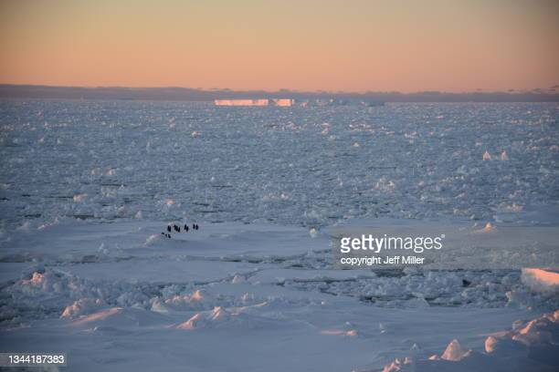 a flock of adélie penguins (pygoscelis adeliae) sitting on pack ice at sunset, southern ocean, antarctica. - pack ice stock pictures, royalty-free photos & images