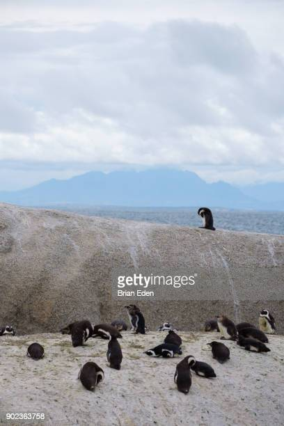 A flock of African penguins on the rocks at Boulder Beach in Cape Town, South Africa