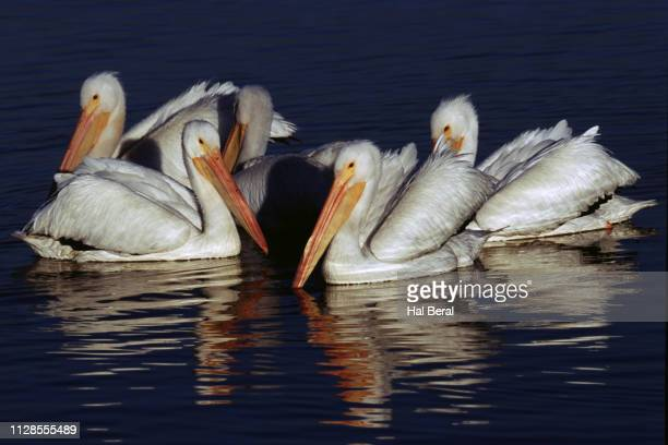 Flock of American White Pelicans