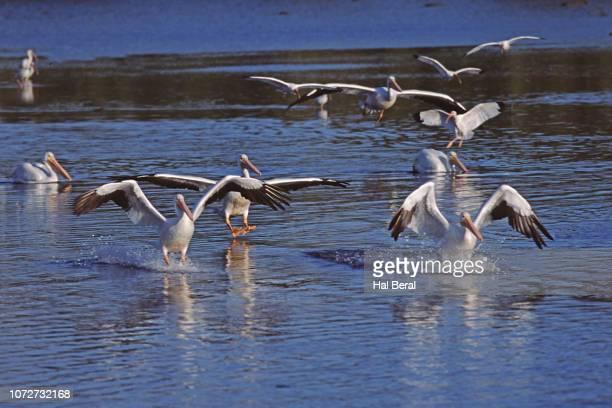 Flock of American White Pelicnas landing