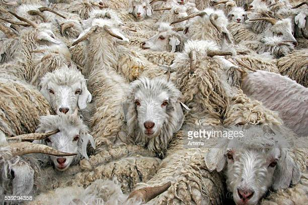 Flock of Angora goats to produce mohair wool in Lesotho, Africa.