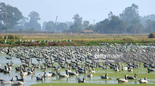 A flock of Barheaded geese seen at the Gharana Wetland near the IndiaPakistan border on December 3 2018 in Ranbir Singh Pora about 35 km from Jammu...