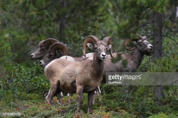 A flock of bighorn sheep seen near Spray Lakes Reservoir in Spray Valley Provincial Park Kananaskis Country On Wednesday August 8 in Kananaskis...