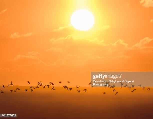 flock of birds against sunrise sky at jones beach - wantagh stock pictures, royalty-free photos & images