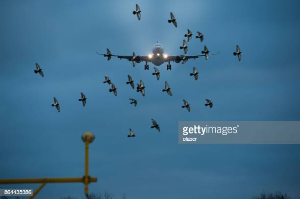 flock of birds and airplane landing - bird stock photos and pictures
