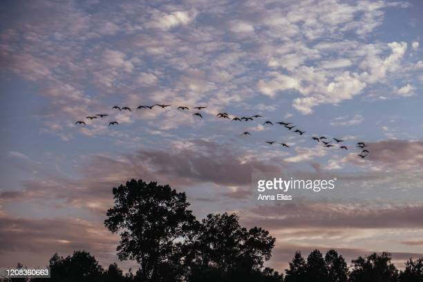 a flock of birds flying across the sky - bird stock pictures, royalty-free photos & images