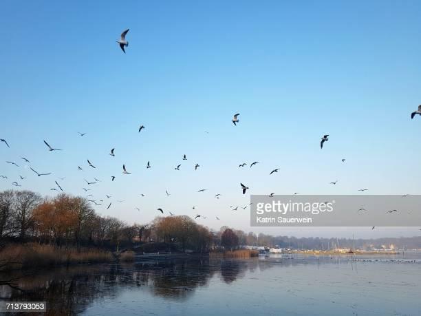 Flock Of Birds Flying Against Clear Sky