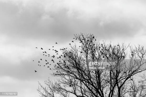 flock of birds flying from bare branched tree - bare tree stock pictures, royalty-free photos & images