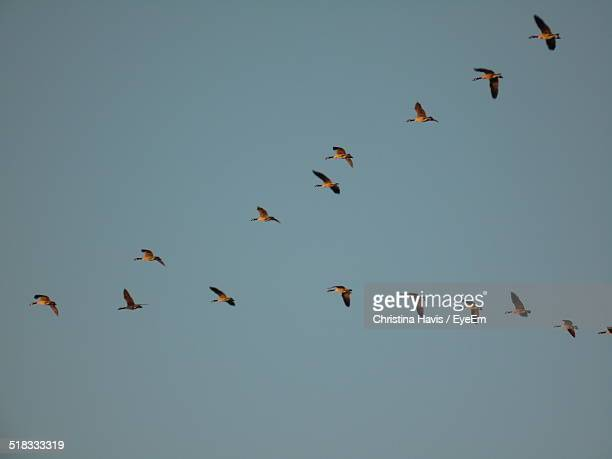 flock of birds flying in v formation - vertebrate stock pictures, royalty-free photos & images