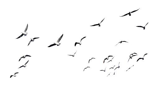 Flock of birds flying isolated on white background. 931160708