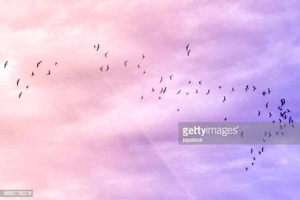 flock of birds flying on pink sky - bird stock photos and pictures