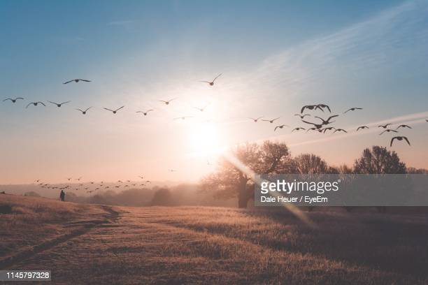 flock of birds flying over field against sky during sunset - tree stock pictures, royalty-free photos & images