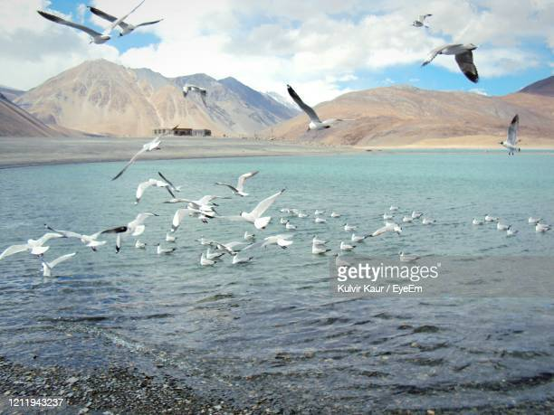 flock of birds flying over lake against sky - chandigarh stock pictures, royalty-free photos & images