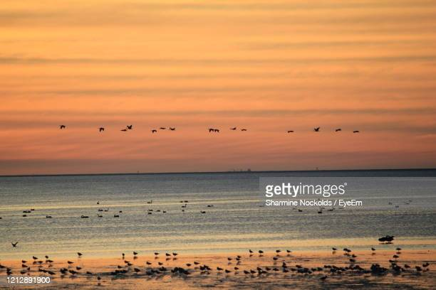 flock of birds flying over sea during sunset - zeevogel stockfoto's en -beelden