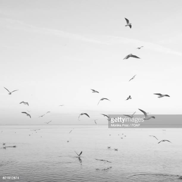 flock of birds flying over sea - pomorskie province stock photos and pictures