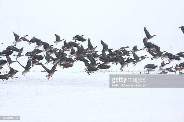 Flock Of Birds Flying Over Snow Covered Field Against Clear Sky