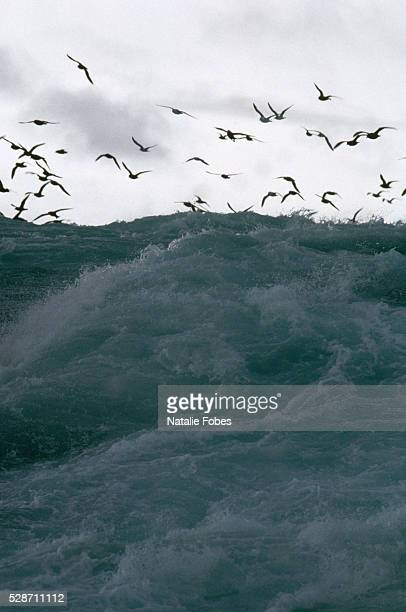 flock of birds flying over stormy bering sea - bering sea stock pictures, royalty-free photos & images