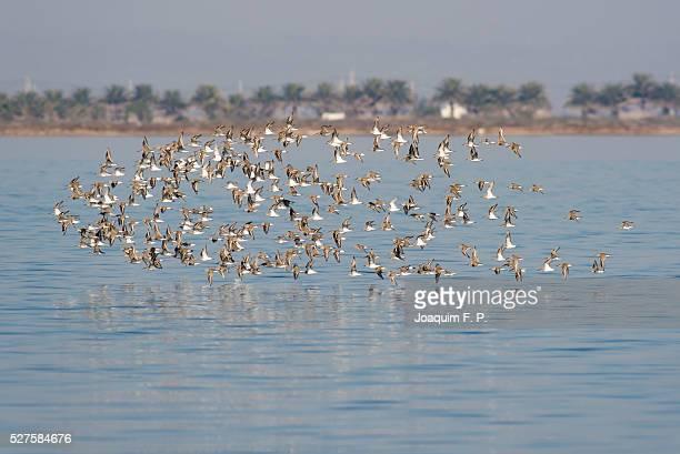flock of birds flying - delta del ebro fotografías e imágenes de stock