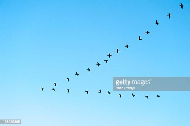 flock of birds formation flying - arizona bird stock pictures, royalty-free photos & images