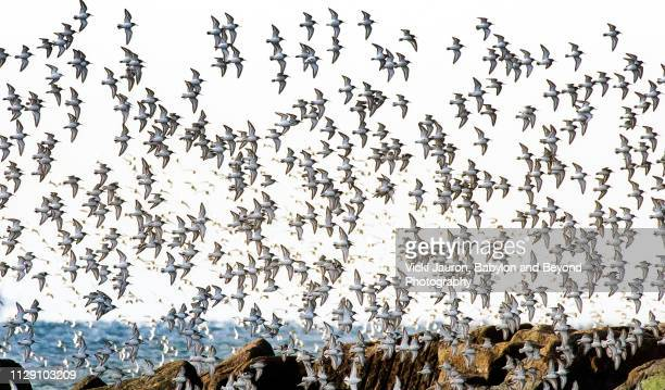 flock of birds heading north at jones beach, long island - jones beach stock pictures, royalty-free photos & images