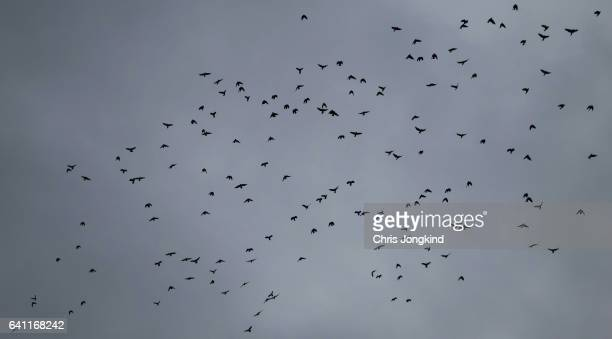 flock of birds in flight - ravens stock photos and pictures