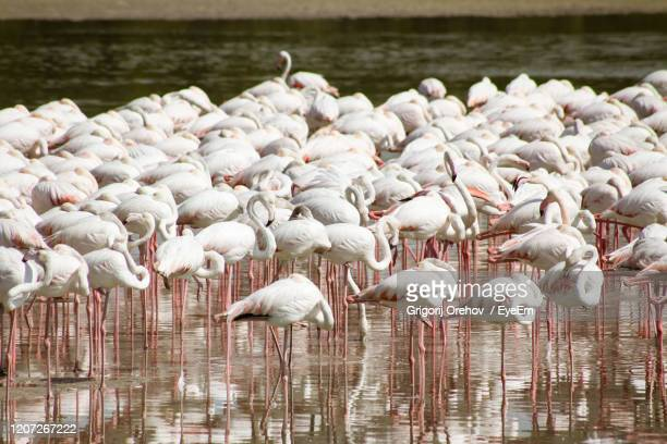 flock of birds in lake - pelican stock pictures, royalty-free photos & images