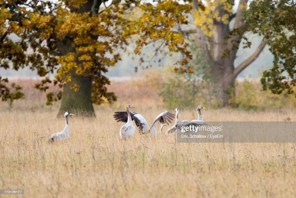 Flock Of Birds On Field : Stock-Foto