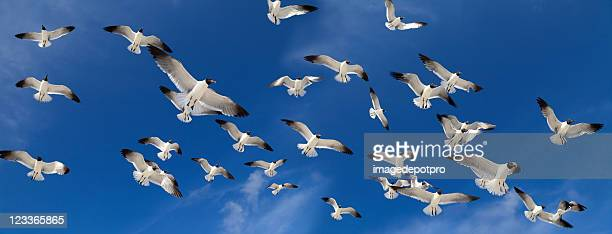 flock of birds - zeevogel stockfoto's en -beelden