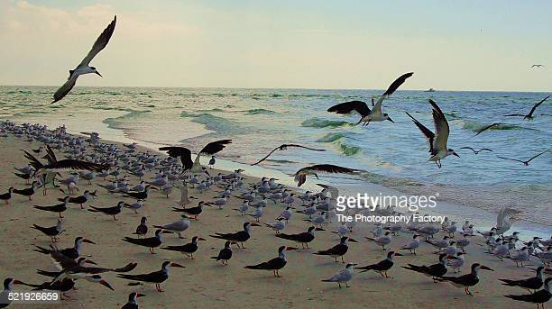 flock of birds - siesta key stock pictures, royalty-free photos & images