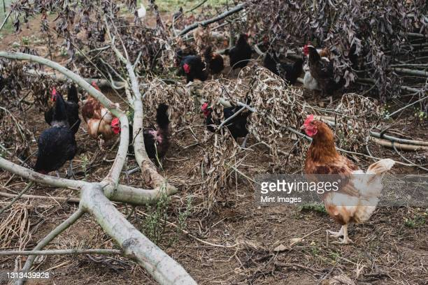 flock of black and brown chickens pecking among branches of fallen tree. - medium group of animals stock pictures, royalty-free photos & images