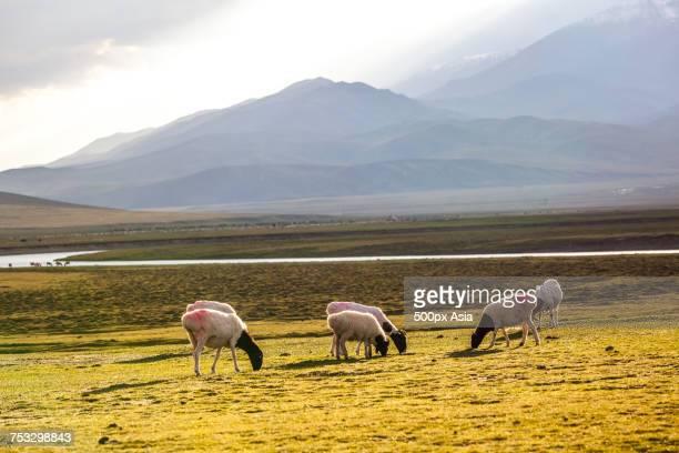 Flock of blackhead Persian sheep grazing in grassland near river, Yili, Xinjiang, China