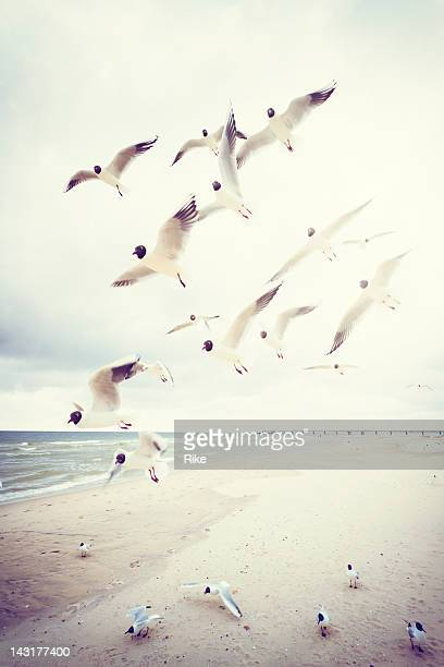 A flock of black-headed seagulls at the Baltic Sea