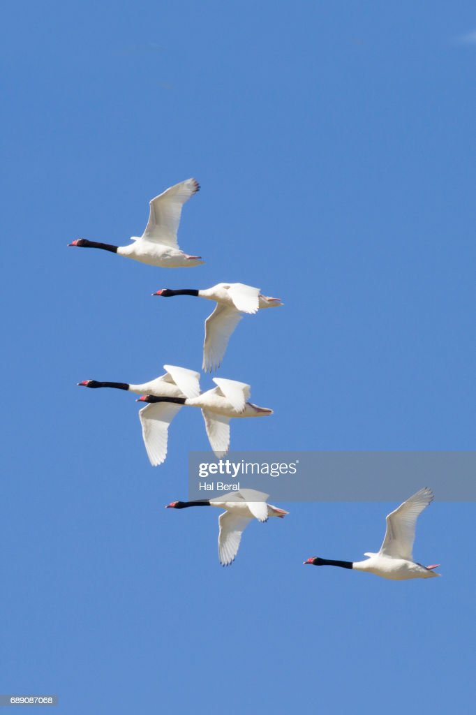 Flock of Black-Necked Swans flying : Stock Photo