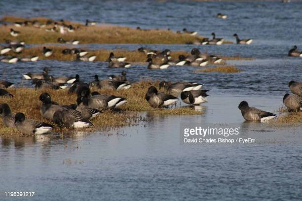 240 Brent Geese Photos and Premium High Res Pictures - Getty Images