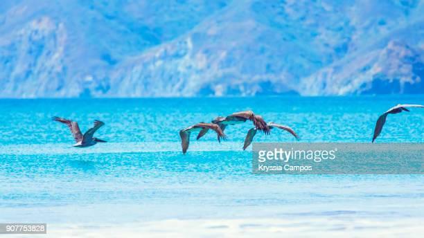 flock of brown pelicans flying over sea - parque nacional de santa rosa fotografías e imágenes de stock